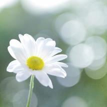 single-chrysanthemum-peter-chadwick-lrps