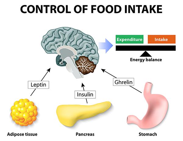control of food intake leptin-diagram-600x461-1