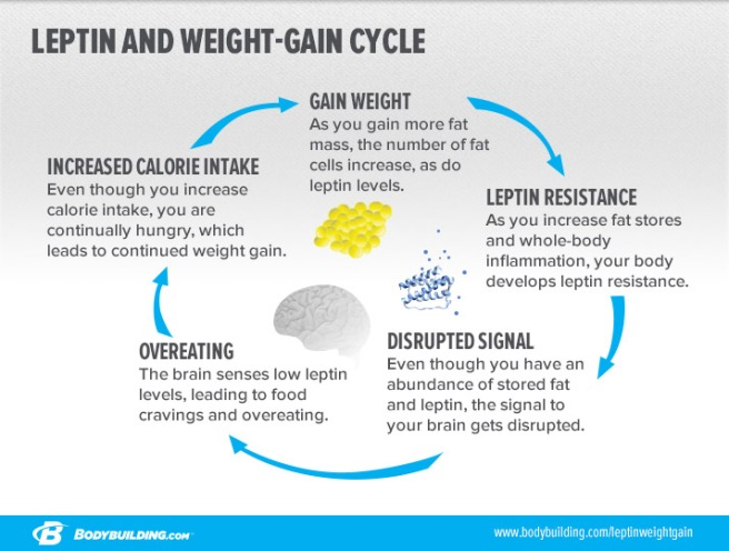 leptin-and-weight-gain-cycle_infographic-3